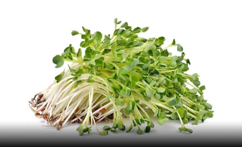 گیاه یونجه