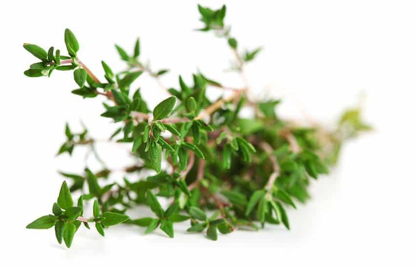 گیاه آویشن کوهی