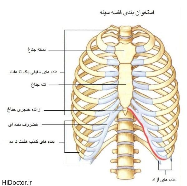 ساختار قفسه سینه