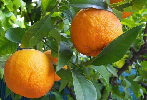 خواص-نارنج